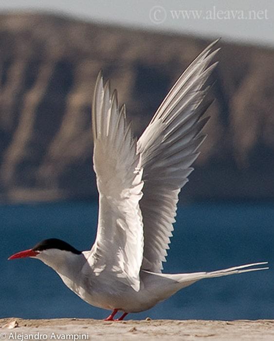 Trinta-réis-de-bico-vermelho na Península Valdés