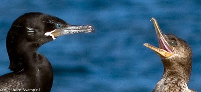 Neotropische Aalscholver met het kuiken in Punta Pardelas Valdes schiereiland