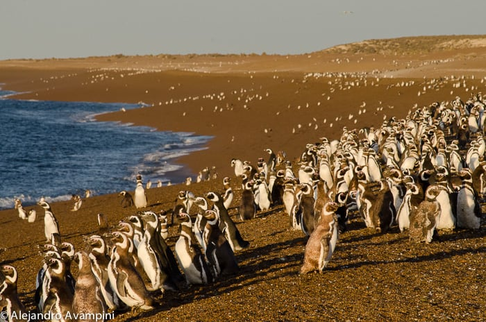 Penguin colony of San Lorenzo in Península Valdés