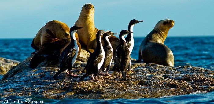 Lion de mer dans la péninsule de Valdés