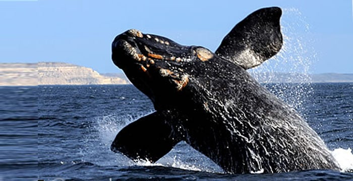 southern right whale baby jump in Puerto Piramides Bay Peninsula Valdes
