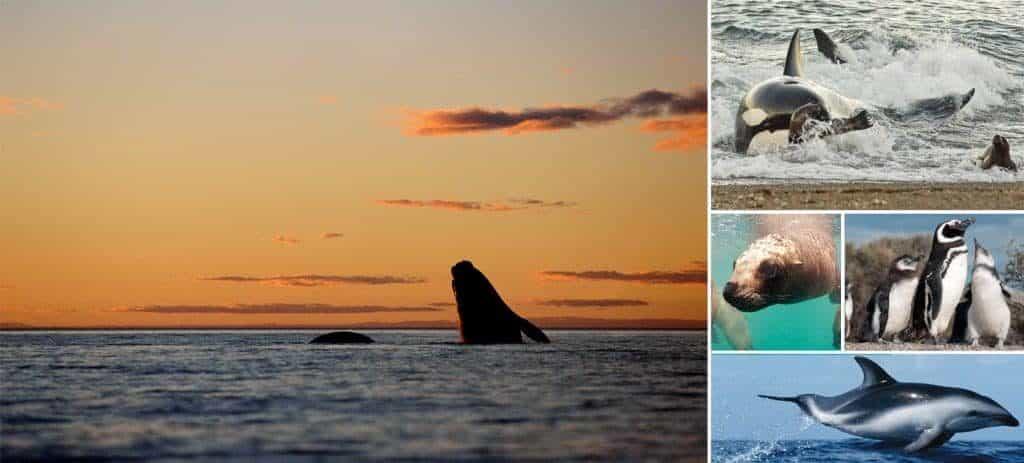 Marine Fauna of Valdes Peninsula