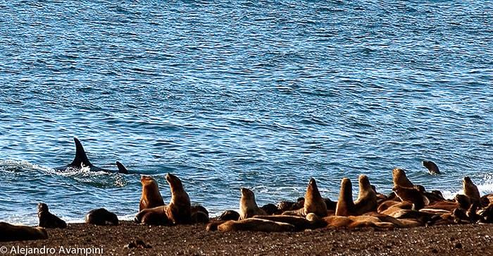 saison des orques Peninsule Valdes