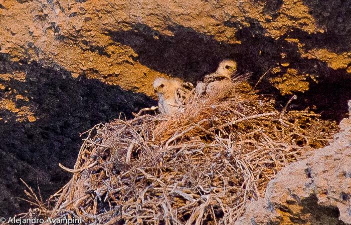 Crias de aguila Mora en Península Valdes