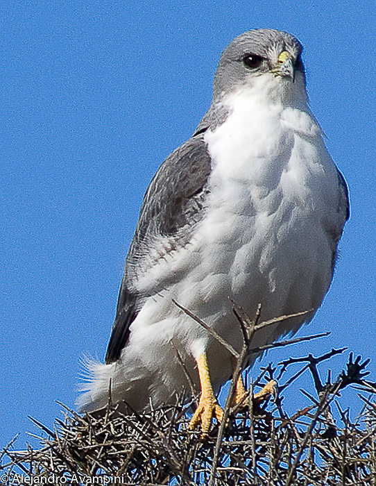 Variable Hawk in Peninsula Valdes