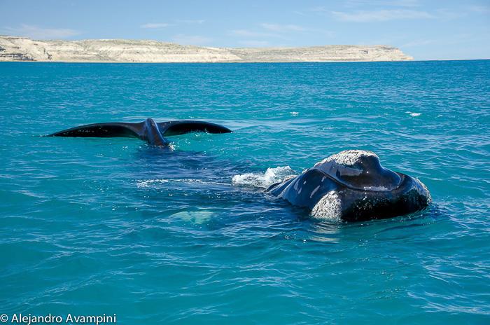 Möwen Angriffe auf Wale auf der Halbinsel Valdes