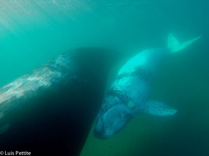 Le baleineau baleine nage avec sa mèr