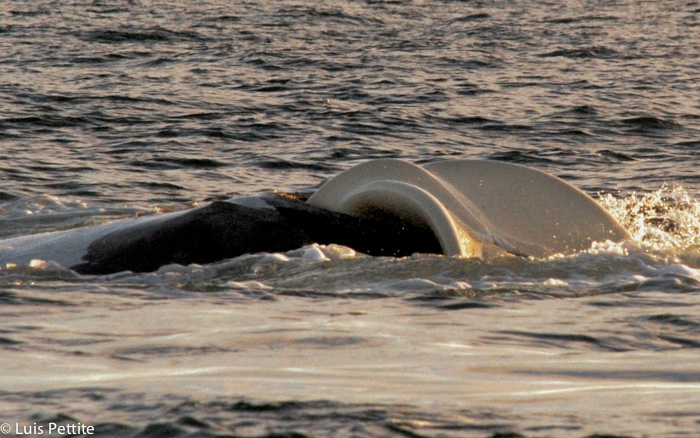 Geburt des Wals in Puerto Piramides Halbinsel Valdes