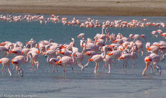 Flamingo do Sul na Península Valdés - Reserva da Ilha dos Pássaros