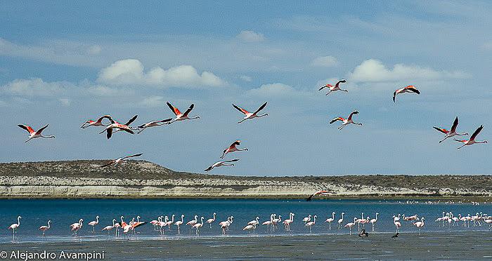 Flamingo do Sul na Península Valdés