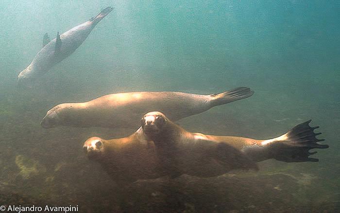 Lions de mer sous l'eau
