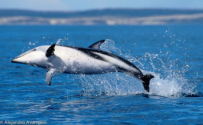 Düsterer Delphin in der Halbinsel Valdes