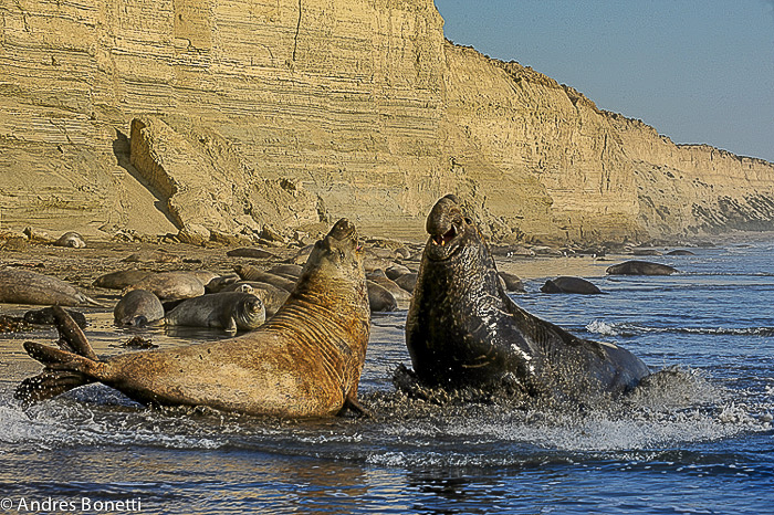 Elephant seals fighting in Caleta Valdes