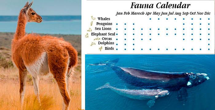 Fauna Calendar - Peninsula Valdes