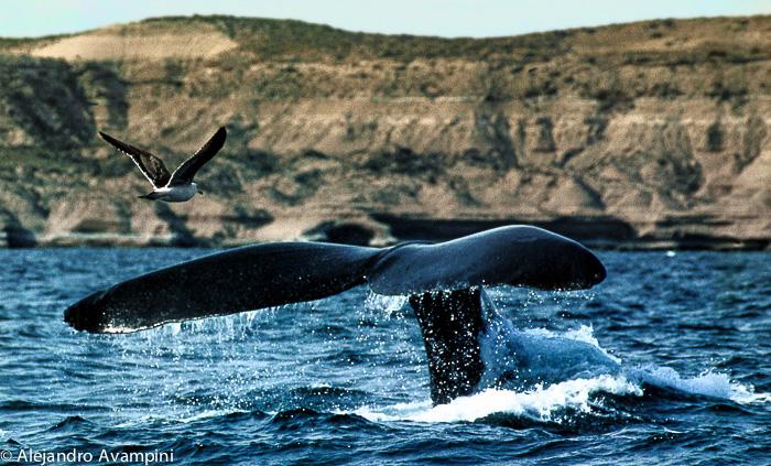 Wale auf der Halbinsel Valdes