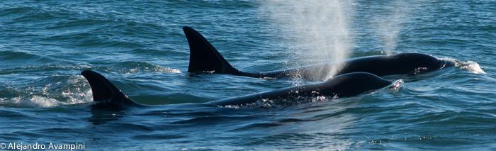 orcas punta norte peninsla valdes