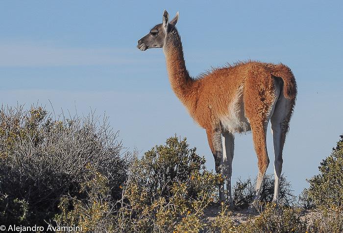 Guanaco Lama en San Pablo Valdés Reserva de fauna