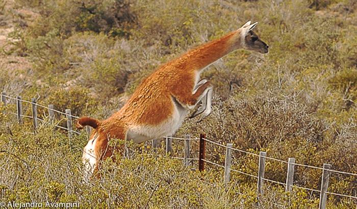 Guanaco springt een hek