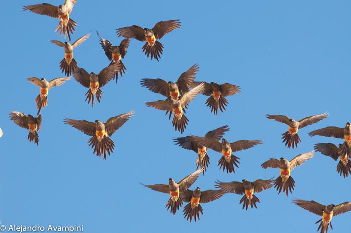 loro barranquero patagonia argentina
