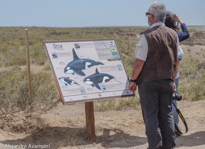 Orcas em Caleta Valdes