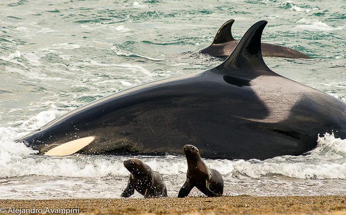 ataque de orcas en el canal de ataque