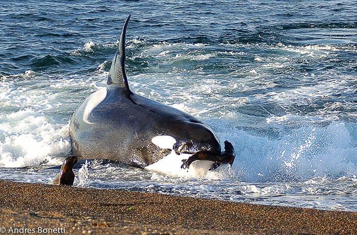 Ataque de orca a leão marinho