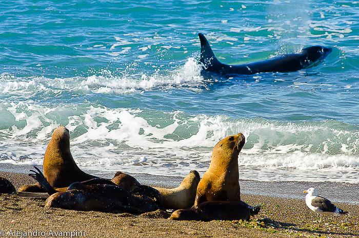 Orcas in the sea lions colony Punta Norte