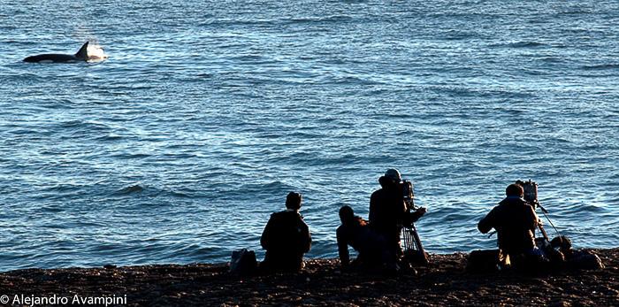 Schwertwal Halbinsel Valdes
