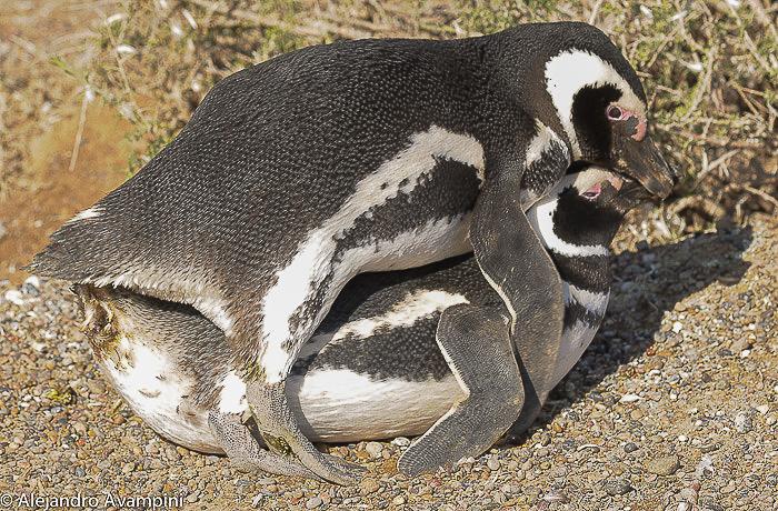 Kopulation von Pinguinen