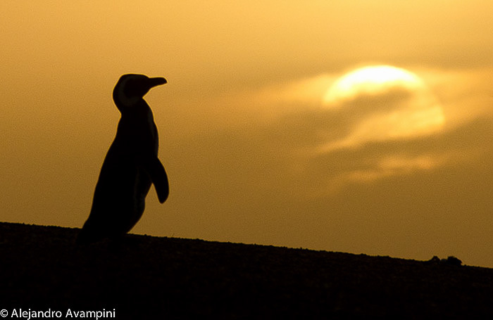 Pinguim ao pôr do sol