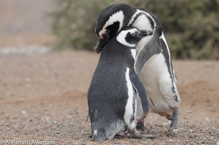Pinguim amoroso namoro