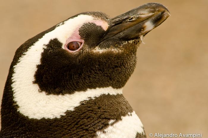 Pinguin da Magalhães na Península Valdés