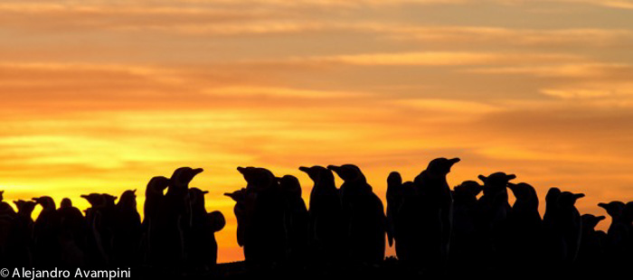 kolonie pinguïn in Valdés-schiereiland