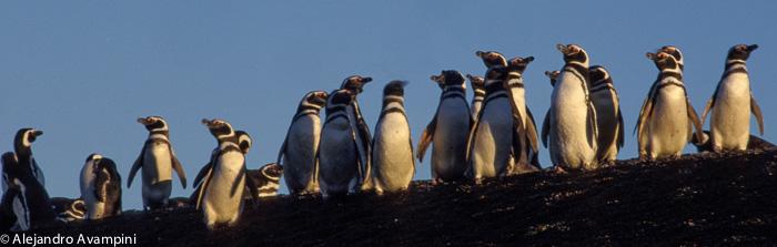 Colônia de pinguins da Península Valdes