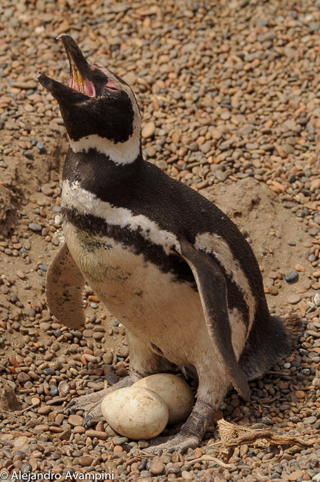 Penguin laying 2 eggs in Peninsula Valdes