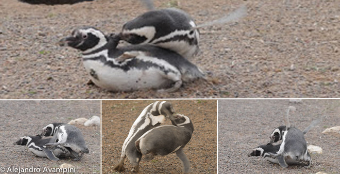 Penguin fight - end of October Punta Tombo Peninsula Valdes
