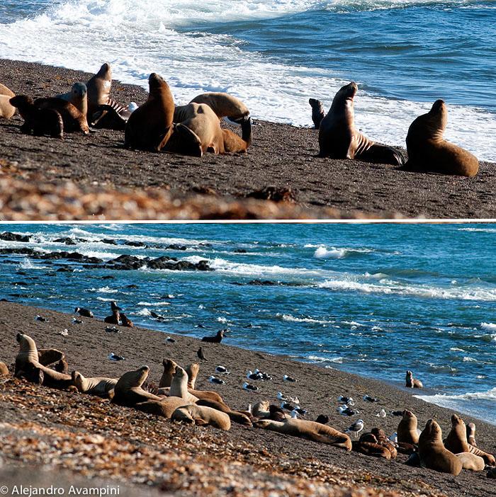 Sea lions colony low tide in Punta Norte