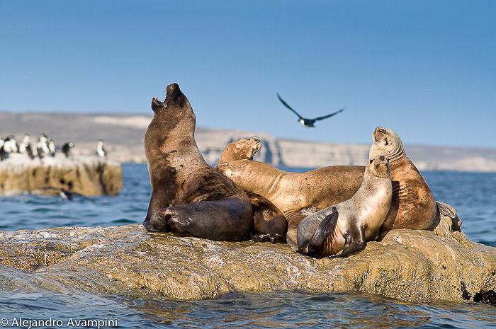 Lions de mer dans la colonie de Punta Piramide
