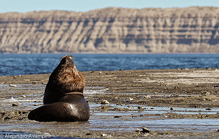 Leão-marinho macho