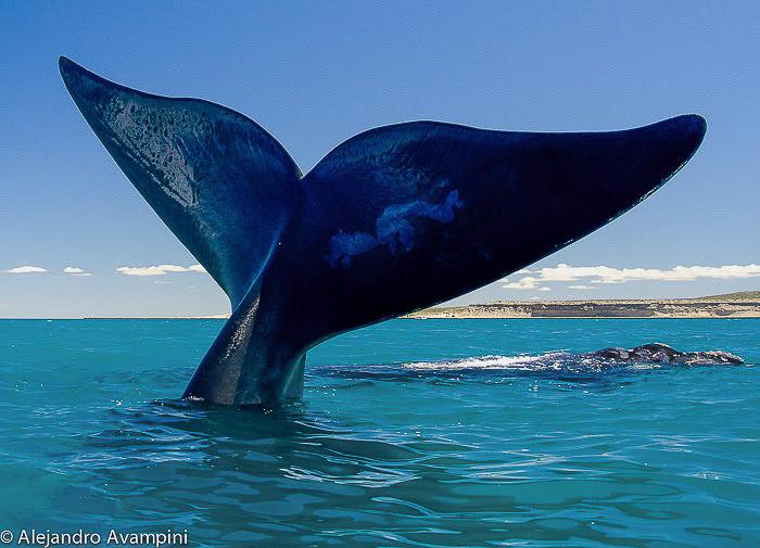 Walvissen in Puerto Piramides