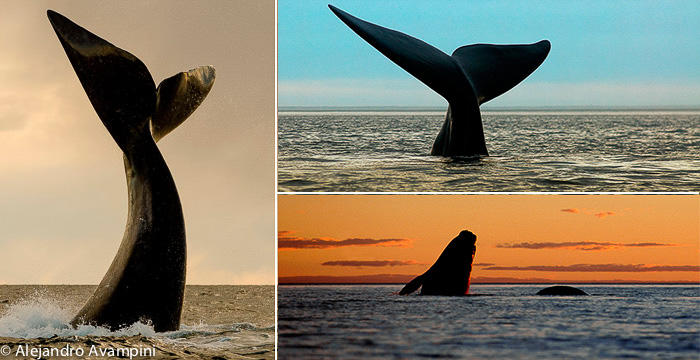 Queues de baleine - Coucher de soleil à Puerto Piramides