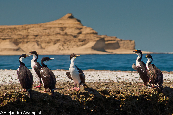cormorants of Punta Piramide