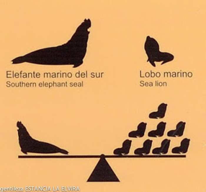 infographics elephant seals and sea lions