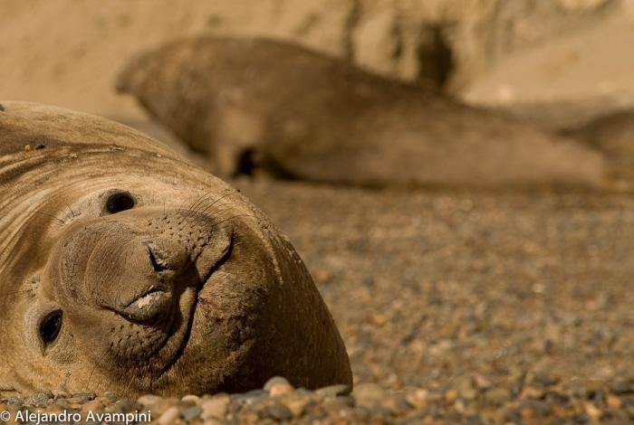 Elefante marino macho en Peninsula Valdes area