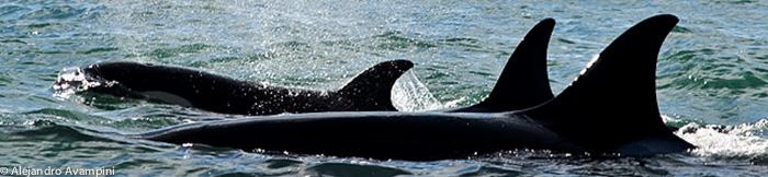 Orcas patrulhando Punta Norte
