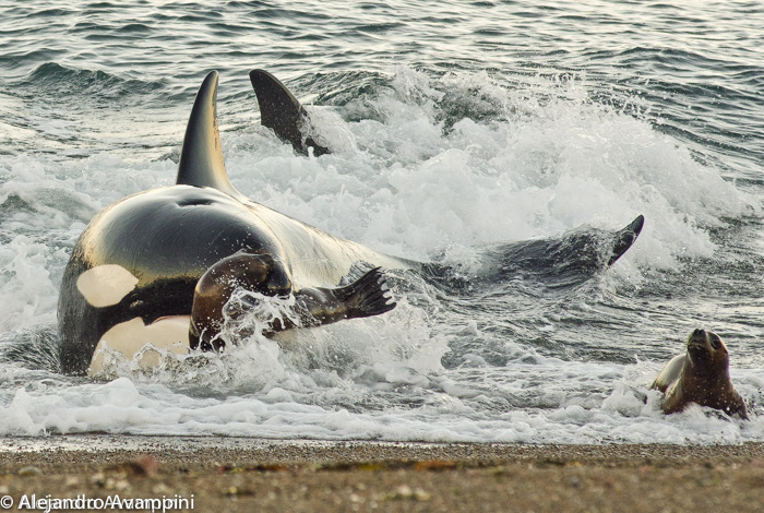 Orca captures sea lion