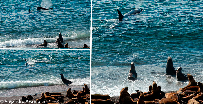 orcas attacking sea lions