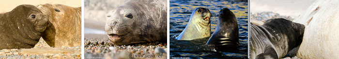 elefantes marinhos na Peninsula Valdes