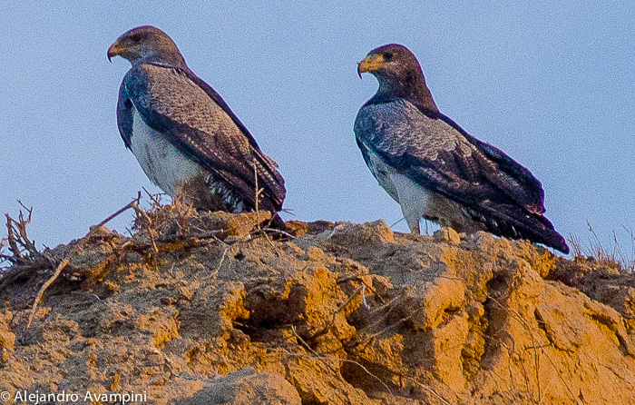 Aguila Mora - Bird Peninsula Valdes