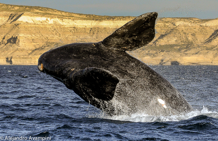 Southern right whale jumping in Puerto Piramides